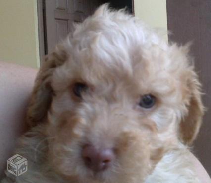 Download filhote de poodle no 1 na cor caramelo de olhos azul Vazlon