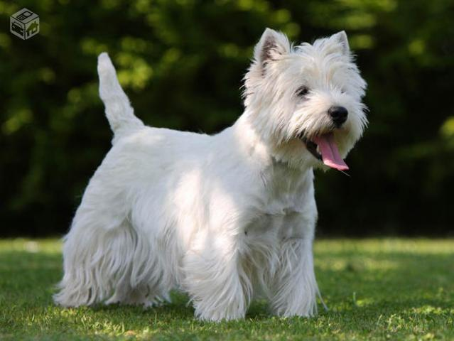 West Highland White Terrier Femeas com Pedigree