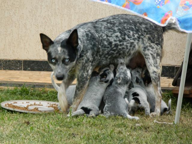 Filhotes De Blue Hiller Australian Catle Dog Ofertas