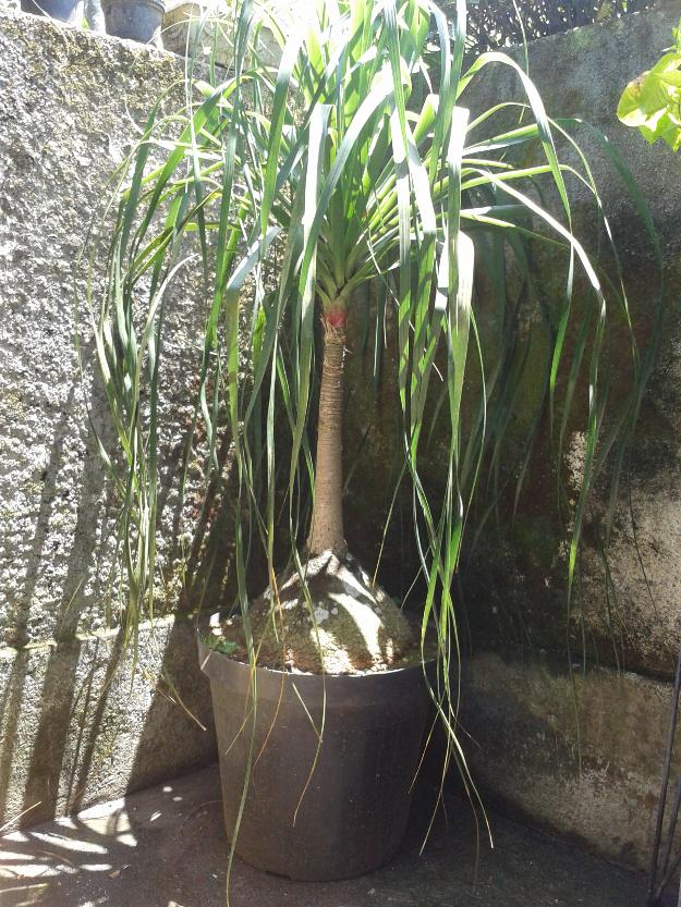 Fotos de vendo 10 plantas pata de elefante s o paulo - Planta pata de elefante ...