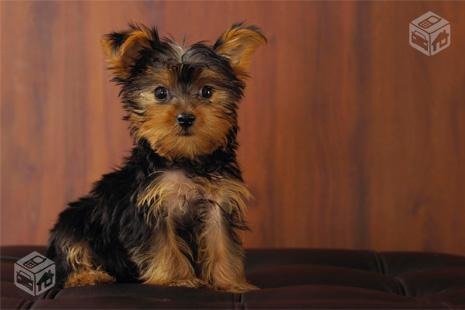 Yorkshire Terrier Macho de 6 meses