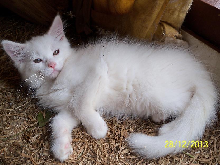 Vendo Filhotes Gatos Raça Maine Coon Comprar Gato Gigante