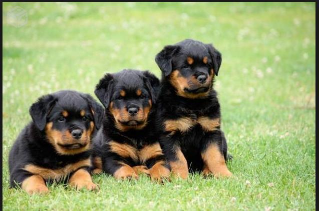 Cachorros para adoção, adote cães filhotes ou cachorrinhos