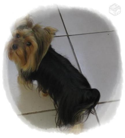 Yorkshire Terrier Adulto Tamanho Padrao Anos Ofertas Vazlon Brasil