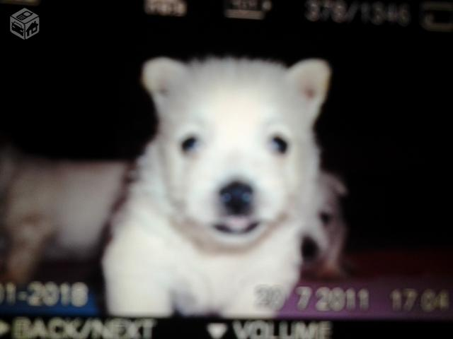 West Highland White Terrier - R$