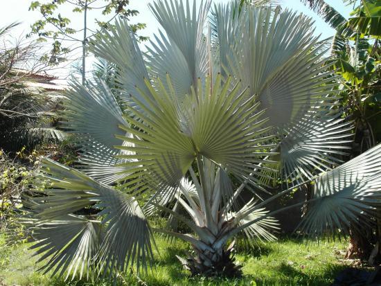 Fotos De Mudas De Palmeira Bismarckia Nobilis Rio De Janeiro  HD