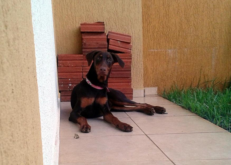 Doberman Femeá Pedigree