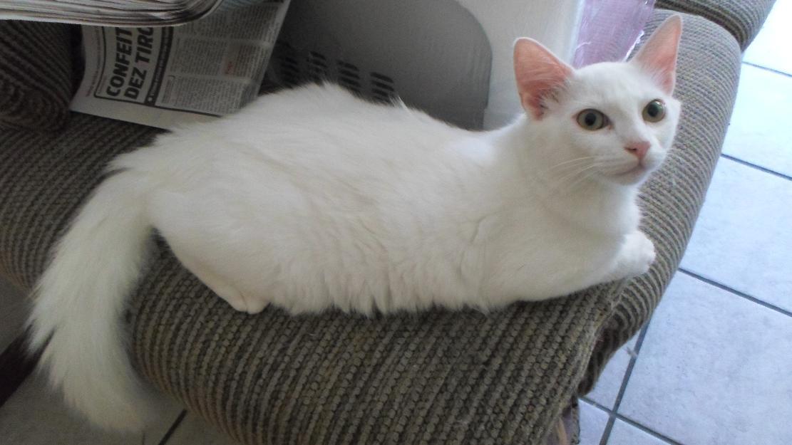 Gato Preto e Branco Filhote Filhote de Gato Branco Angorá