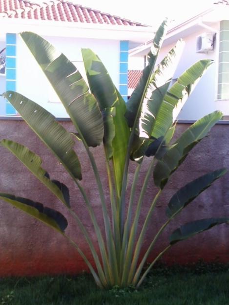 grama sintetica decorativa belo horizonte:vasos em ratam com uma bananeira com um cacho de banana