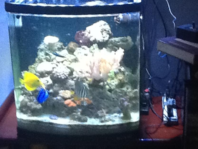 decoracao branca azul aracatuba:seriatopora caliendrum coral vivo marinho importado