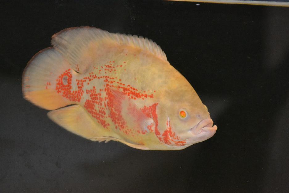 peixe oscar super red tiger padrao aa | Vazlon Brasil