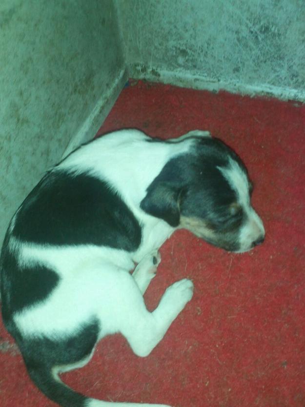 Rottweiler para adoção - 6patas.com.br