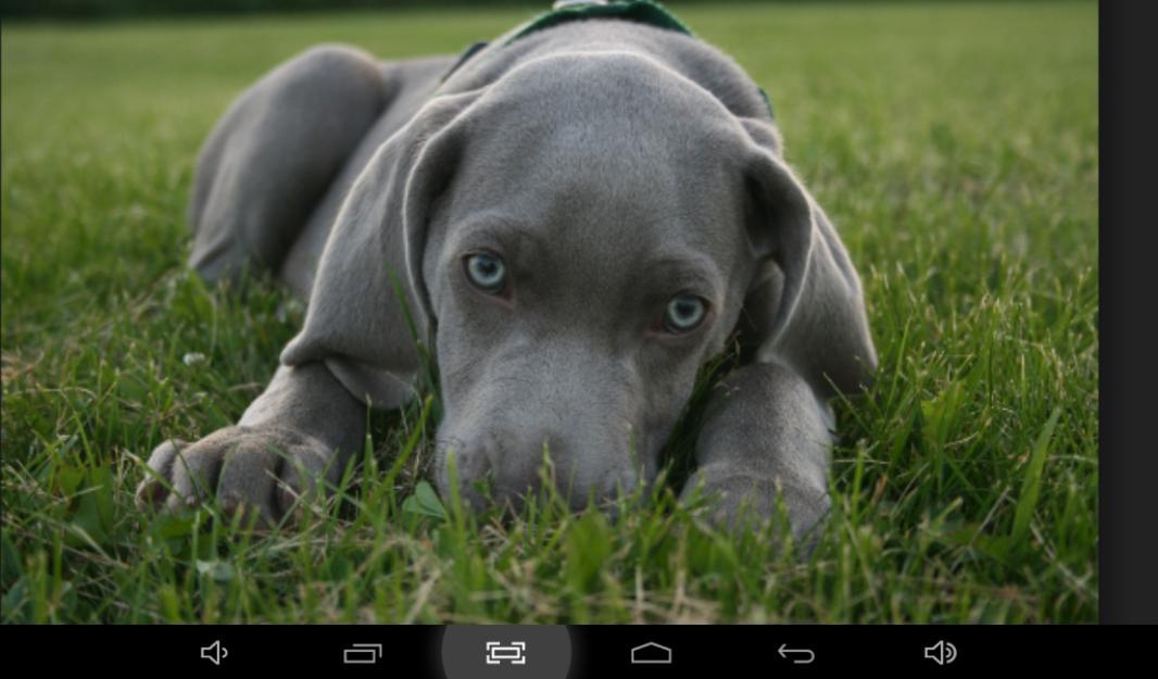 cachorro weimaraner | ...