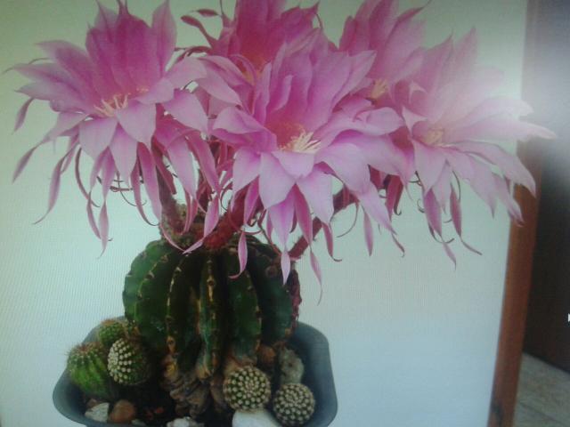 Pacote de sementes dos cactus mais belos do mundo vazlon - Cactus raros fotos ...