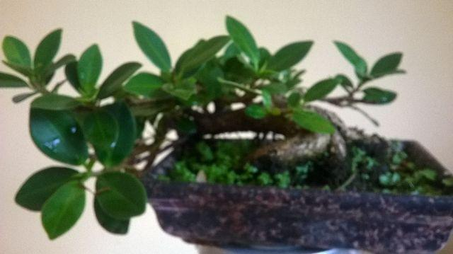 Vendo bonsai de ficus com idade de anos no estilo neagari for Bonsai vendo