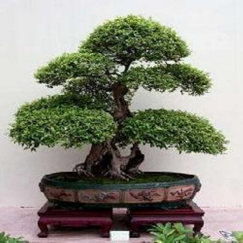 Bonsai estacas de amora para bonsai belo horizonte for Como cultivar bonsais