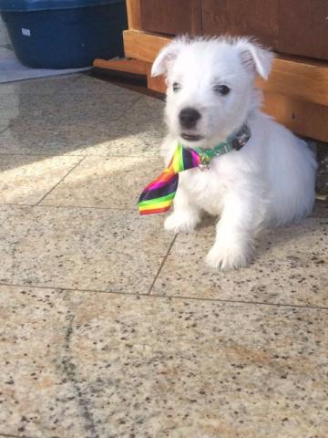 Lindo filhote West Highland White Terrier