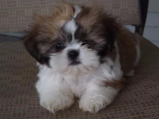 Small Breed Dogs For Sale In Austin Texas