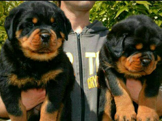 Pago $500 Rottweiler