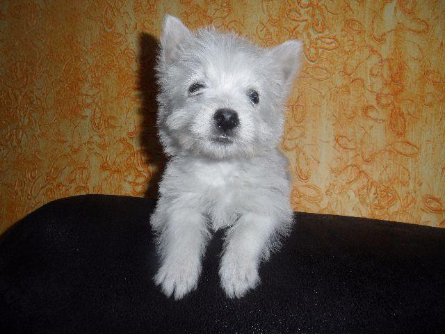 West Highland White Terrier branquinhos lindos