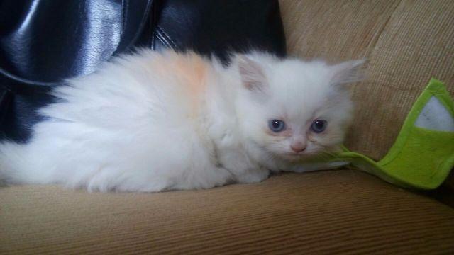doa se lindo gato de olho azul - 25.4KB