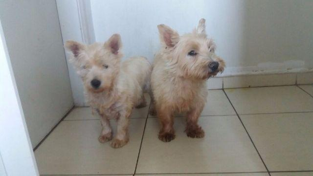West Highland White Terrier e Terrier
