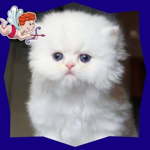 gatinho persa branco olhos azuis - 19.8KB