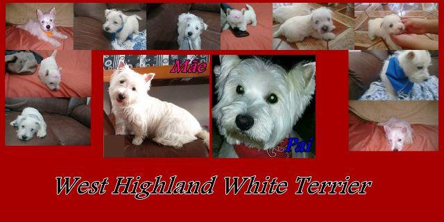 West Highland White Terrier do IG