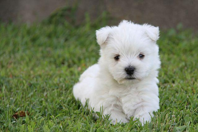West Highland White Terrier - Canil Especializado