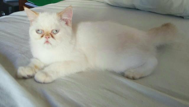filhote de gato persa branco com - 17.1KB