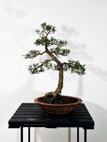 Vendo bonsai vazlon brasil for Bonsai vendo