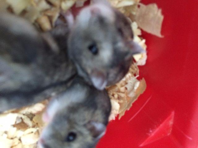 anuncio vendo hamsters gaiola acessorios idaiu