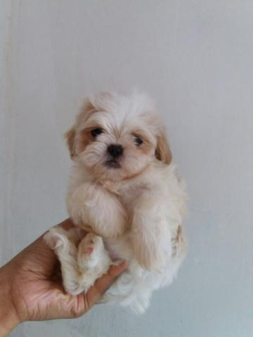 pin mini lhasa apso - photo #2