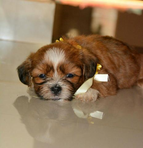 pin mini lhasa apso - photo #14