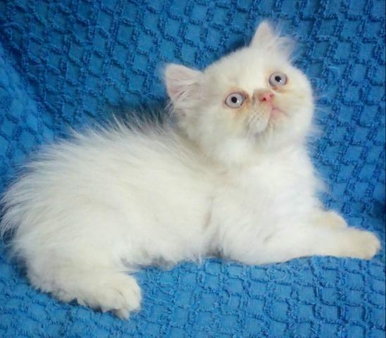 lindo filhote azul macho | Vazlon - 38.1KB
