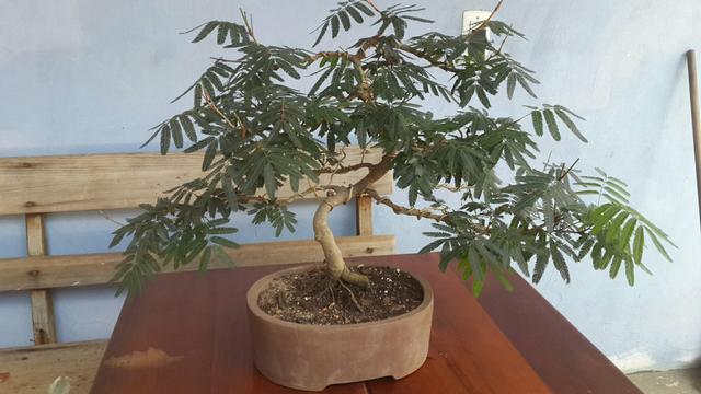 Mudas de calliandra vermelha caliandra escovinha vazlon for Bonsai vendo