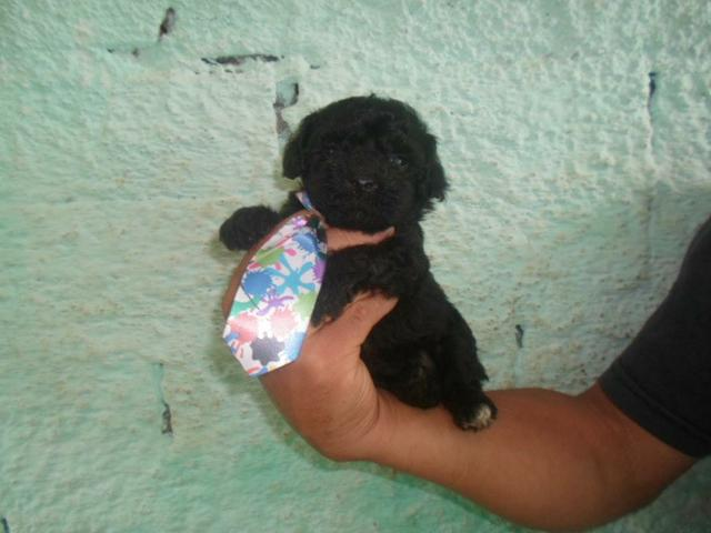 Poodle toy macho micro toy preto