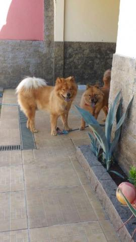 Chow-chow Caramelo
