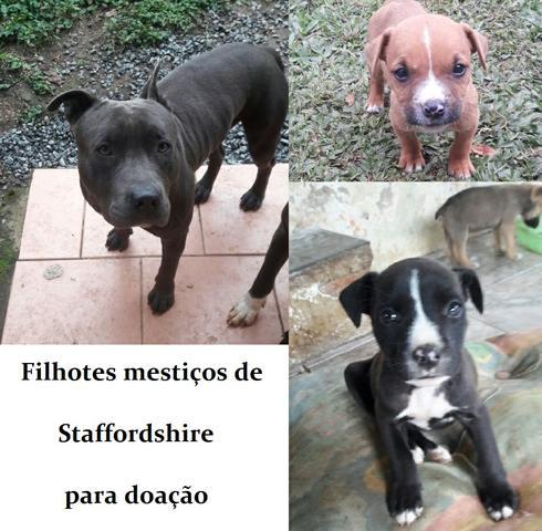 Pit Bull fêmea para doação | Animal Help Campinas (19)3253