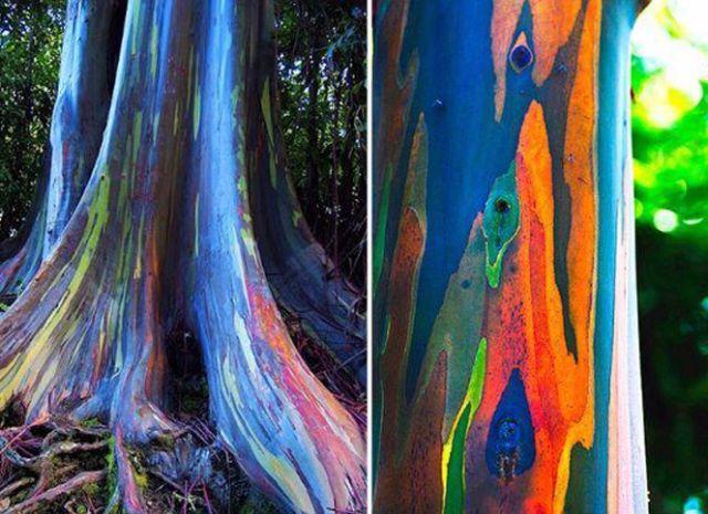 Eucalipto arco iris eucalyptus deglupta ofertas for Piscina inflavel arco iris intex playground com escorregador