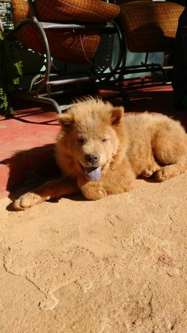 Chow Chow Urgente!