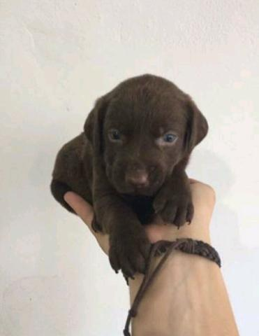 Labrador chocolate
