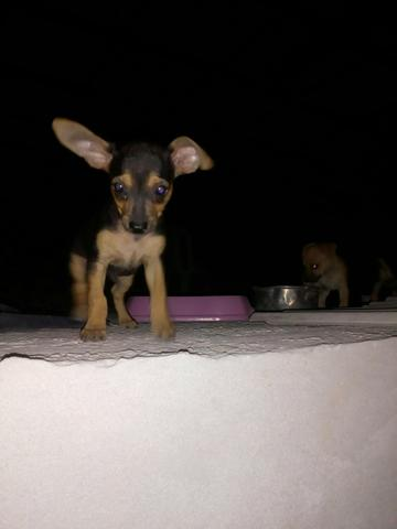 Vendo cachorrinhos pinscher original