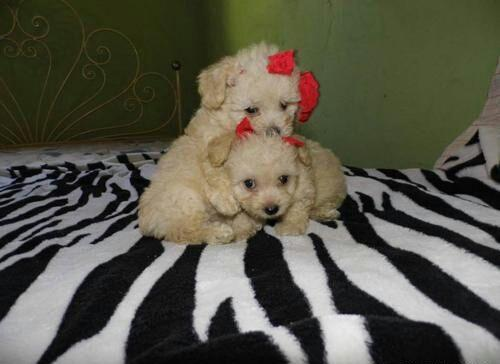 Poodle micro toy lindos