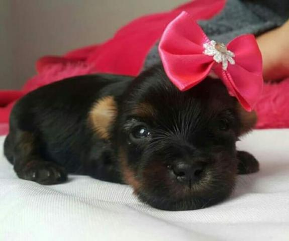 Yorkshire Terrier para reserva Pais Micro