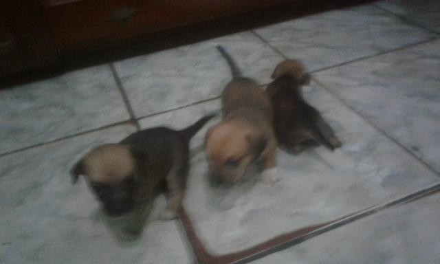 Cachorrinhos pinscher n:1