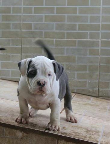 American Bully blue white