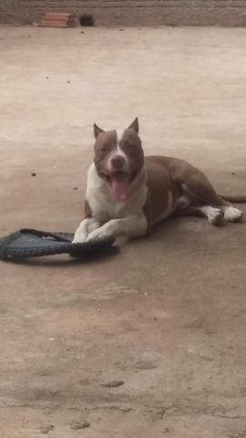 Pit bull red nose macho para cobertura