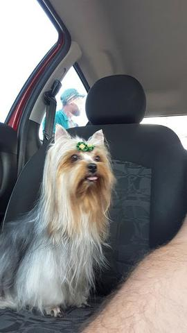 Yorkshire Terrier Yorkshire
