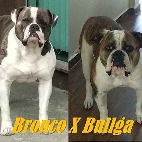 Filhotes De Bulldog Americano Puro Ofertas Vazlon Brasil